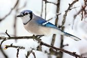 Blue Jay In Snow