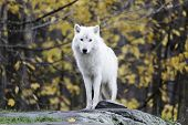 pic of horrific  - A lone Arctic Wolf stands alone in a forest environment - JPG