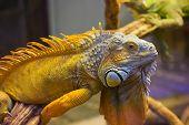 Big iguana lizard in terrarium - animal background