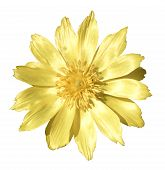 image of adonis  - Spring yellow flowers of Adonis    - JPG