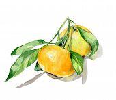 orange fruit watercolor