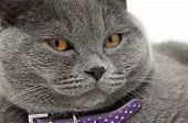 Portrait Of A Gray Cat With A Purple Collar