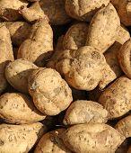 Sweet American Potatoes Harvested In Farmer's Garden