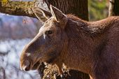 Elk - zoo in Innsbruck Austria - animal background