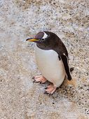 Penguin in park at Bergen Norway - animal background