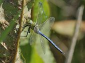 picture of dock a pond  - Emperor Dragonfly - Anax imperator
