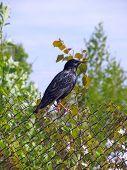 Starling (sturnus Vulgarus)