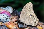 The Common Evening Brown Butterfly