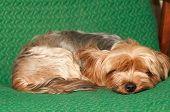 Portrair Of Sleeping Dog