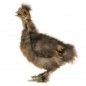 Chinese Silkie Baby Chicken With Open Beak Isolated On White Background