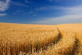 Ripening Golden Ears Of Wheat In The Field Under Blue Sky