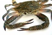 pic of blue crab  - closeup of blue crab isolated on white background  - JPG