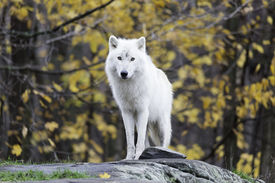 image of horrific  - A lone Arctic Wolf stands alone in a forest environment - JPG