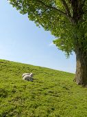image of spring lambs  - Spring image of young lambs resting on a green meadow