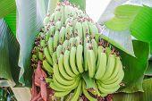 stock photo of bunch bananas  - Green banana trees and fruits - JPG