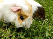 pic of guinea pig  - A close - JPG