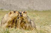 stock photo of marmot  - Himalayan marmots  - JPG