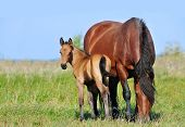 stock photo of mare foal  - draft mare and foal in summer pasture - JPG