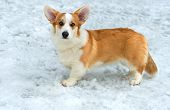 Cardigan Welsh corgi in the snow.