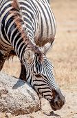 picture of lice  - A zebra in the ngorongoro crater is scratching his face against a rock to get rid of the lice - JPG
