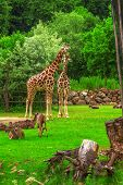 foto of zoo  - Giraffes - JPG