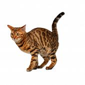foto of crap  - bengal cat is going to crap on white background - JPG