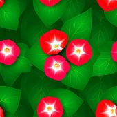pic of ipomoea  - Seamless pattern with flowers ipomoea red star - JPG