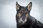 pic of shepherds  - Older German Shepherd sitting in the snow staring at the camera with sad eyes - JPG