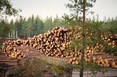 picture of deforestation  - Deforestation cutted trees for construction in the forest - JPG