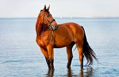picture of bay horse  - Bay horse standing water and looks into the distance - JPG