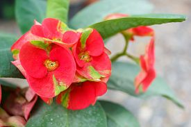 picture of thorns  - crown of thorns christ thorn poi sian flowers(euphorbia milii ). ** Note: Shallow depth of field - JPG