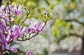 picture of magnolia  - Beautiful Pink Magnolia Flower Buds with soft background - JPG