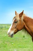 picture of brown horse  - Beautiful brown horse grazing on meadow - JPG