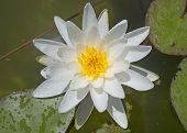 stock photo of day-lilies  - closeup beautiful white lilies on a lake - JPG