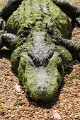 stock photo of alligators  - Detail view of an alligator lying ashore - JPG