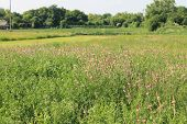 pic of alfalfa  - Pink alfalfa flowers bloom on the meadow - JPG