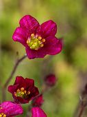 picture of fragile  - beautiful little fragile bright mossy saxifrage pink flower blossomed in the spring garden - JPG