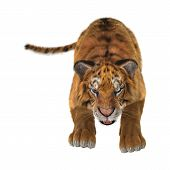 image of white-tiger  - 3D digital render of a tiger hunting isolated on white background - JPG