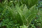 pic of fern  - Young sprouts of fern blossom in a forest glade - JPG