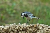 foto of gnats  - Wagtail collects twigs to build nests for breeding chicks - JPG
