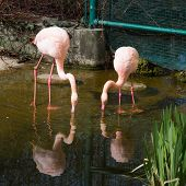 stock photo of pink flamingos  - Couple of   Pink flamingo looking down into the water in the pond and their and reflection in the water - JPG