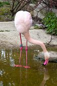 stock photo of pink flamingos  - Pink flamingo looking down into the water in the pond - JPG