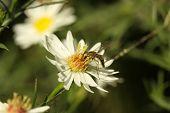 Elongate Flower Fly (baccha Elongata)
