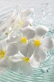 foto of plumeria flower  - studio shot of the plumeria flower with water - JPG