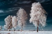 image of birching  - infrared photography birch on the background of dark sky and evening light - JPG