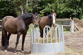 image of brown horse  - brown Holsteiner horses standing on a hay rack and eat hay - JPG