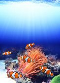 picture of clown fish  - Sea anemone and clown fish in ocean - JPG