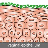 picture of mucosa  - Medical illustration of Vaginal Epithelium Structure with Lactobacilli on the Surface - JPG