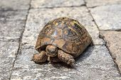 foto of testudo  - Close up detailed front view of tortoise walking in the stone garden - JPG