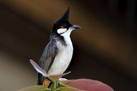 picture of bulbul  - Red-whiskered bulbul Pycnonotus jocosus Birds of Thailand